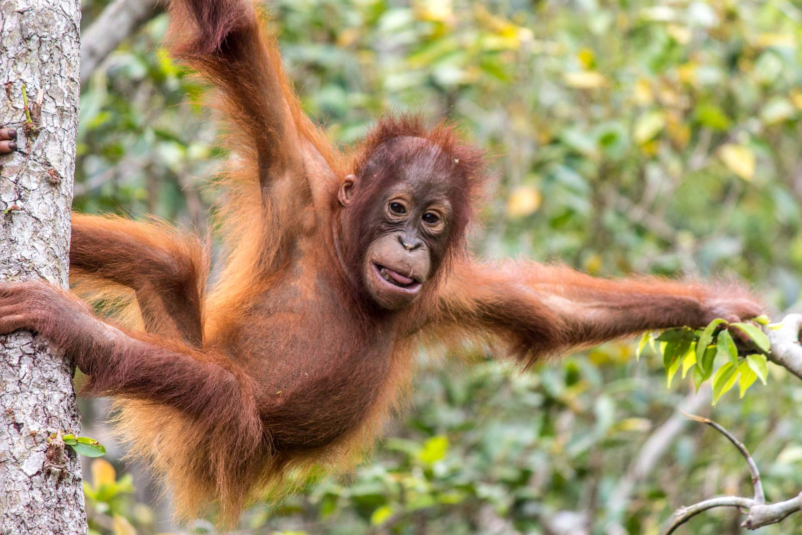Tanjung Puting Orangutan Tour, Kalimantan, Indonesia