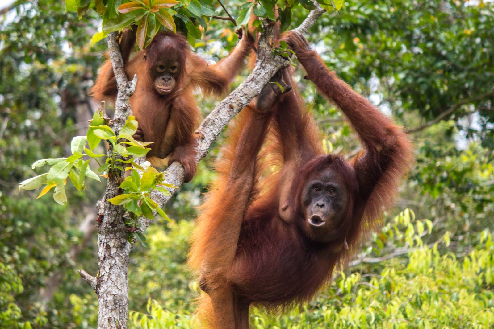 Image result for orangutan in indonesia