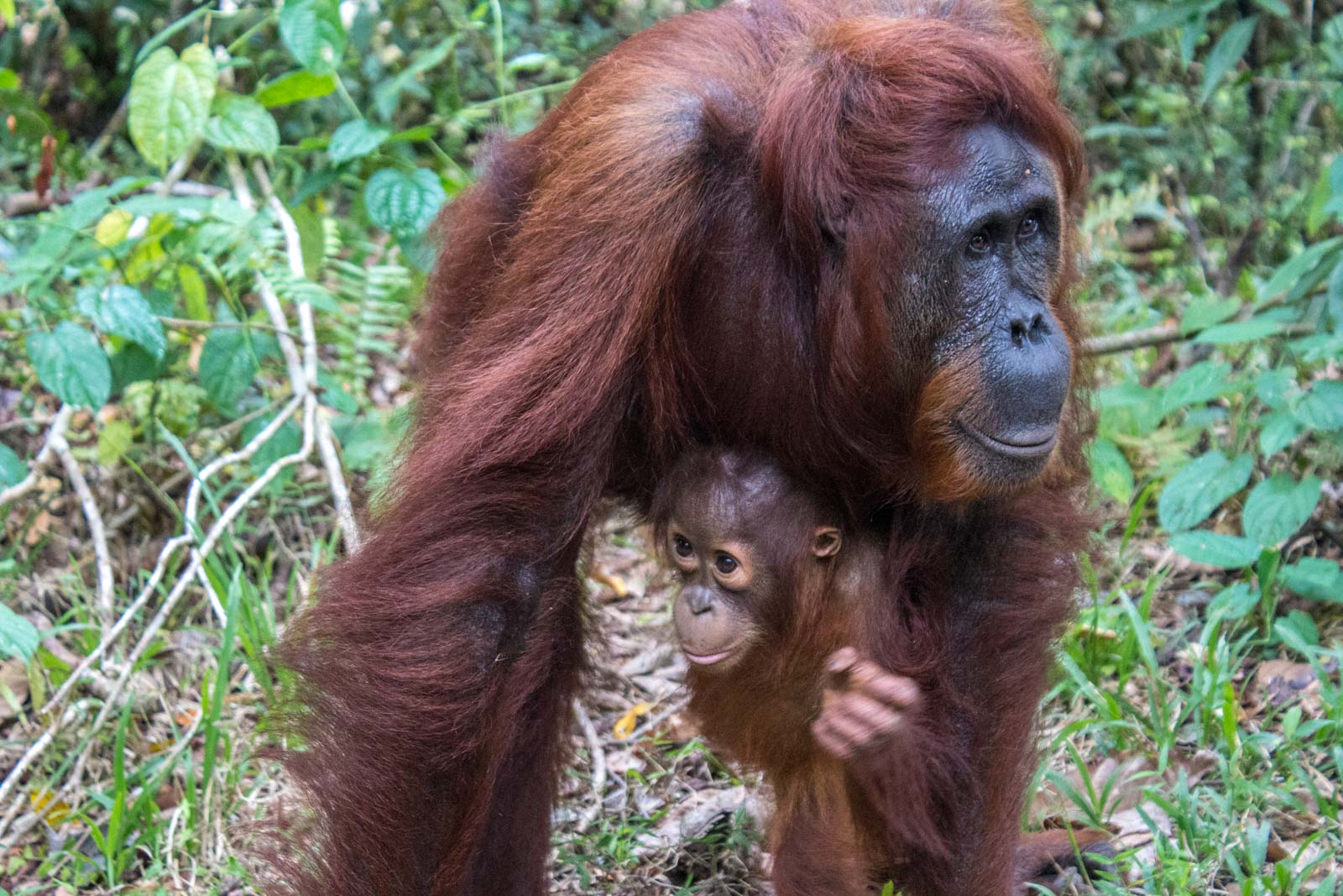 Orangutans, Tanjung Puting, Kalimantan, Indonesia