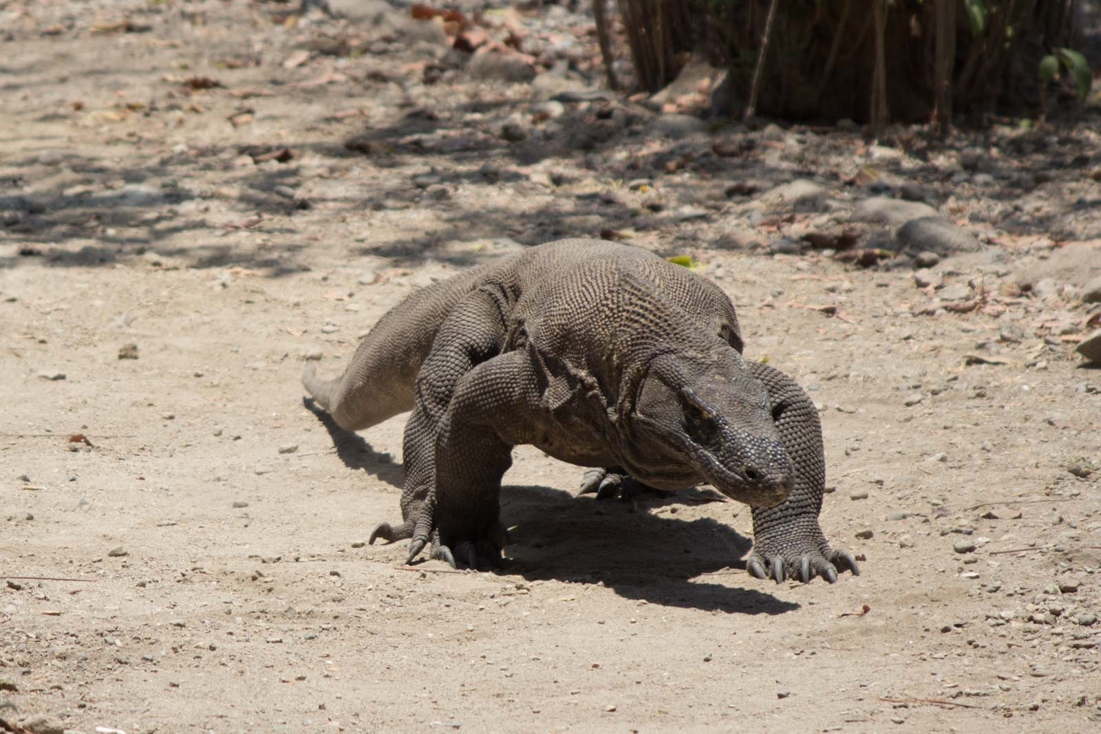 Komodo Dragon Attack, Indonesia