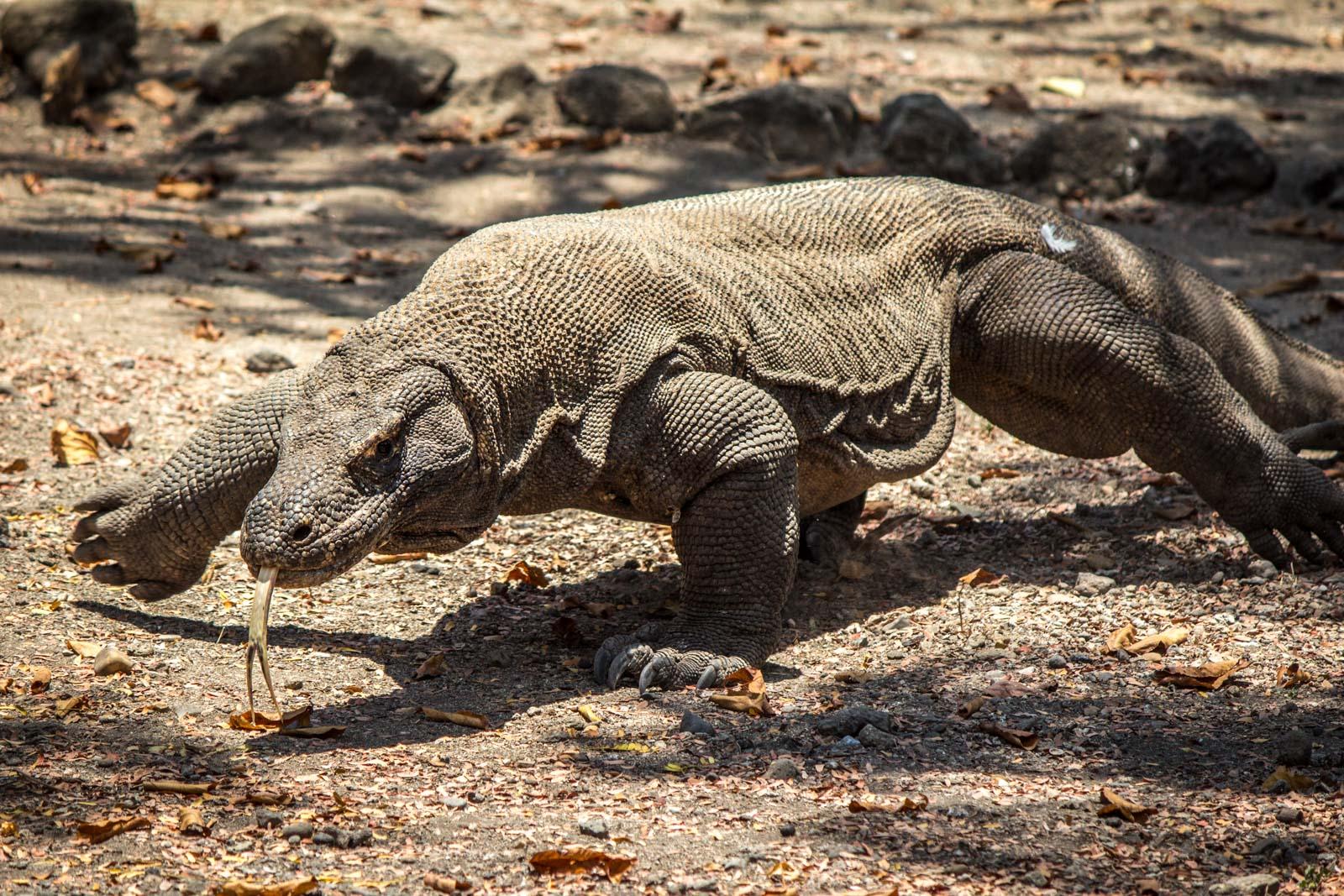 Seeing the Komodo Dragons at Komodo Island National Park, Indonesia