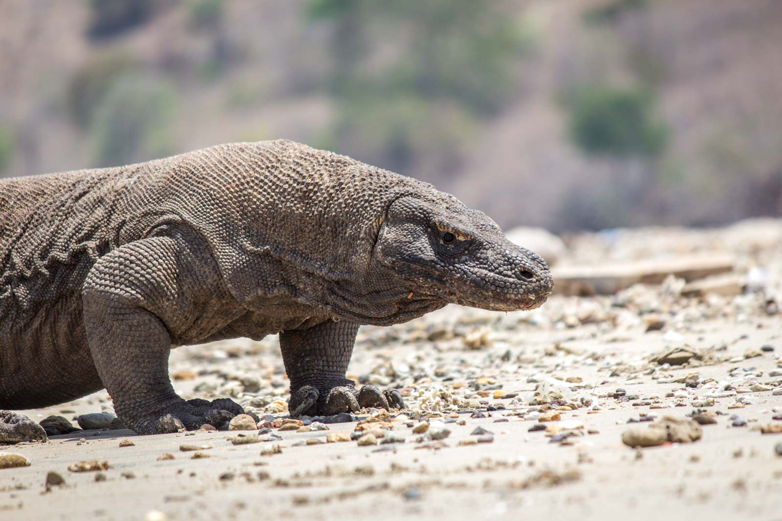 Seeing the Komodo Dragons at Komodo Island National Park, Indonesia