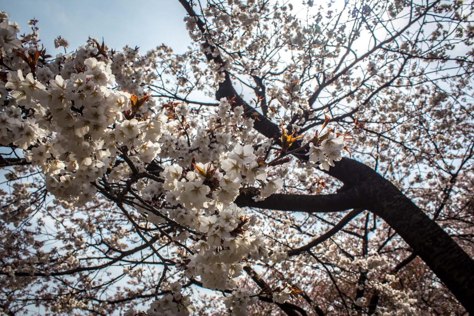 Cherry Blossoms In Japan Sakura And Hanami