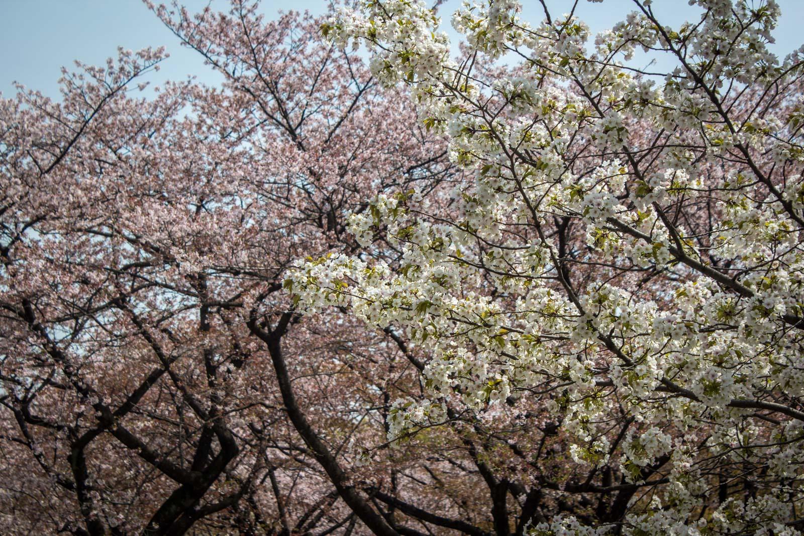 cherry blossoms, japan, sakura, hanami, japanese pink flowers, tokyo