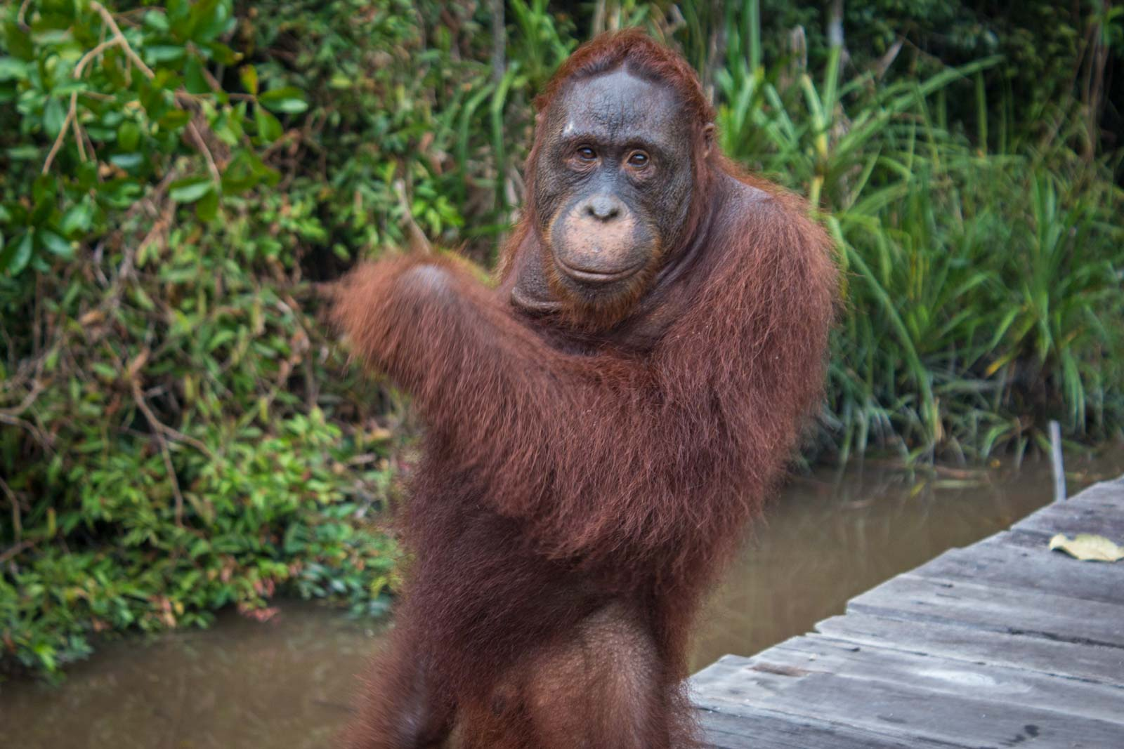 Hire Klotok to Visit Orangutans, Kumai Boats, Indonesia