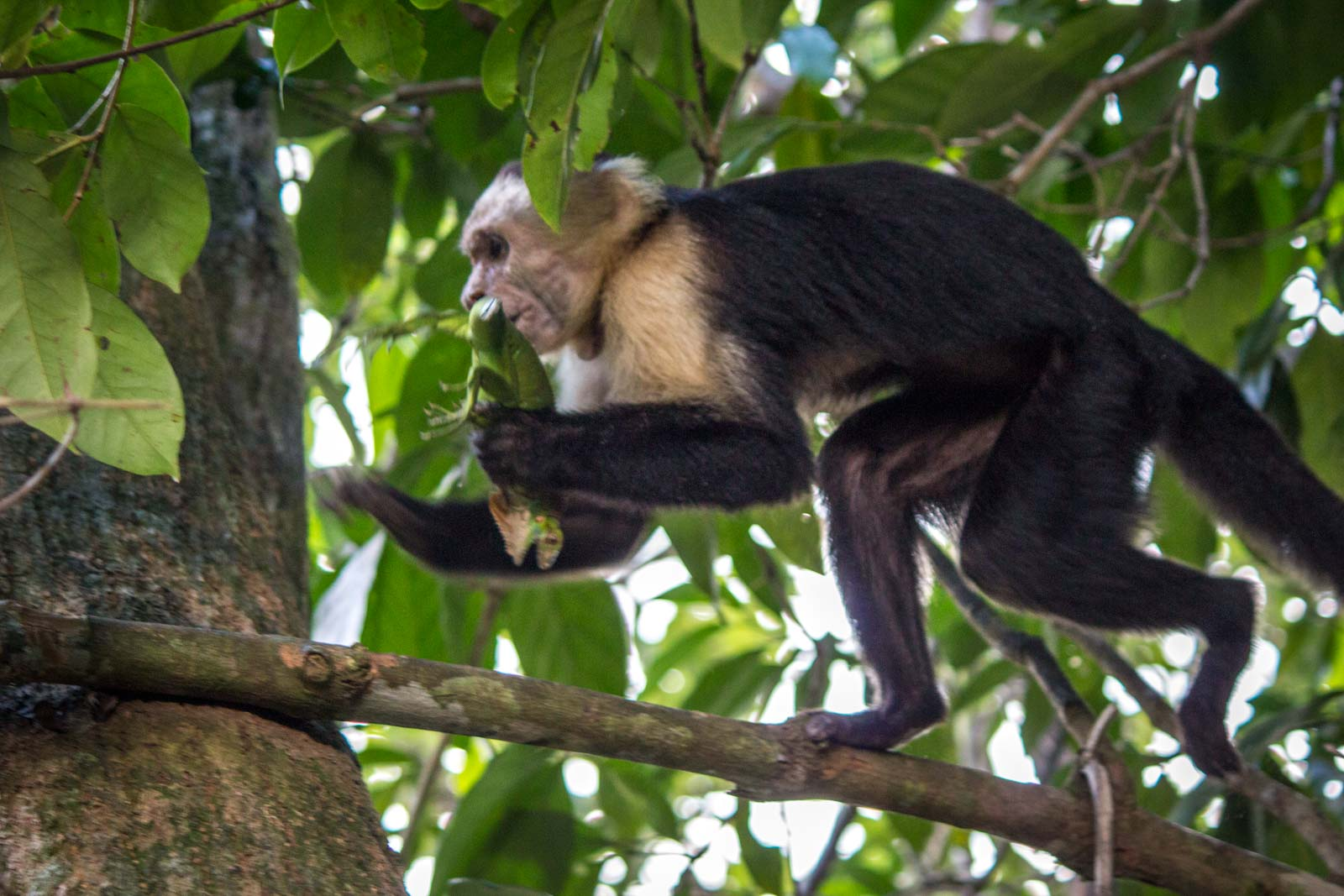 Monkey eats lizard, Manuel Antonio, Costa Rica