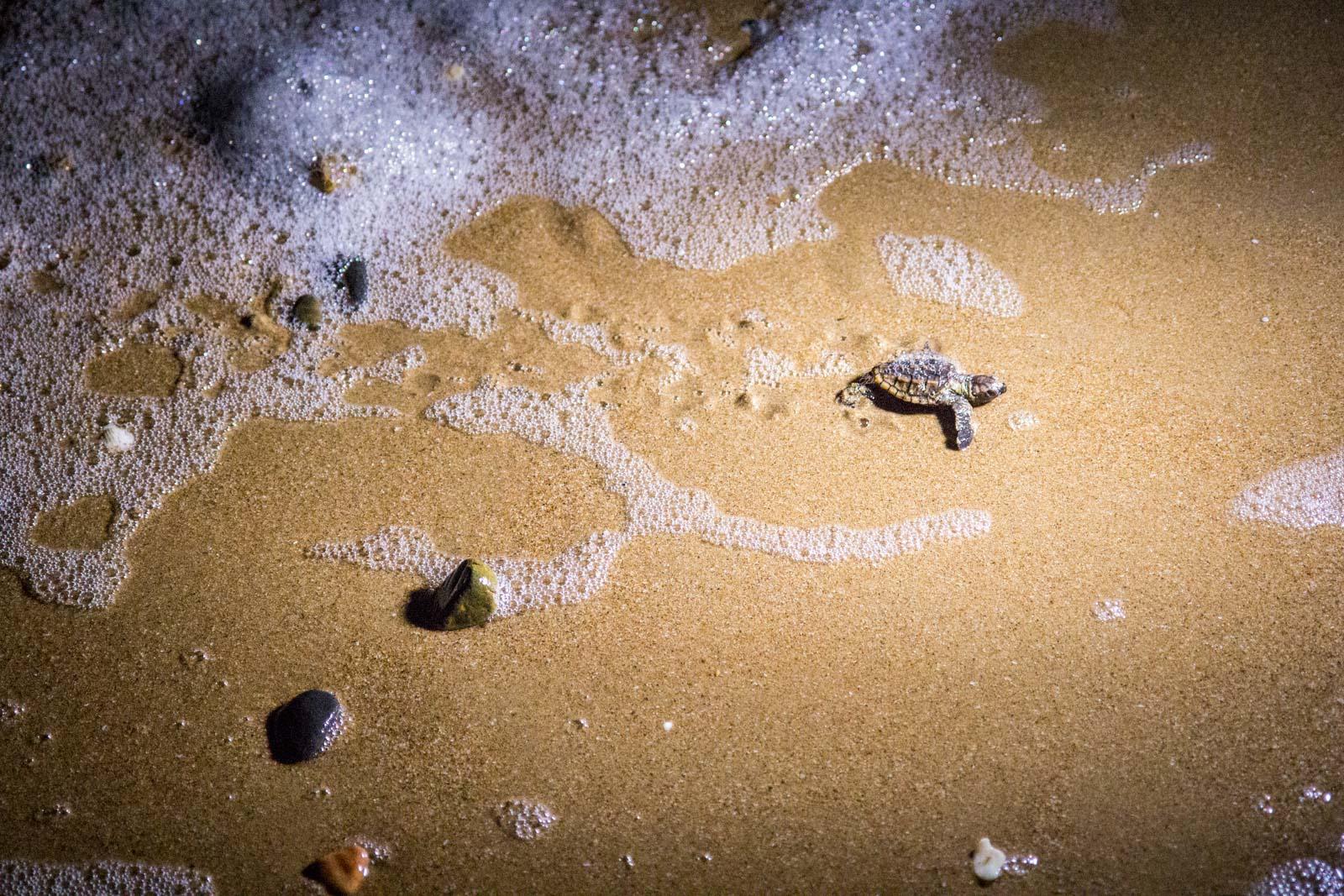 Mon Repos Turtle Rookery, Queensland, Australia