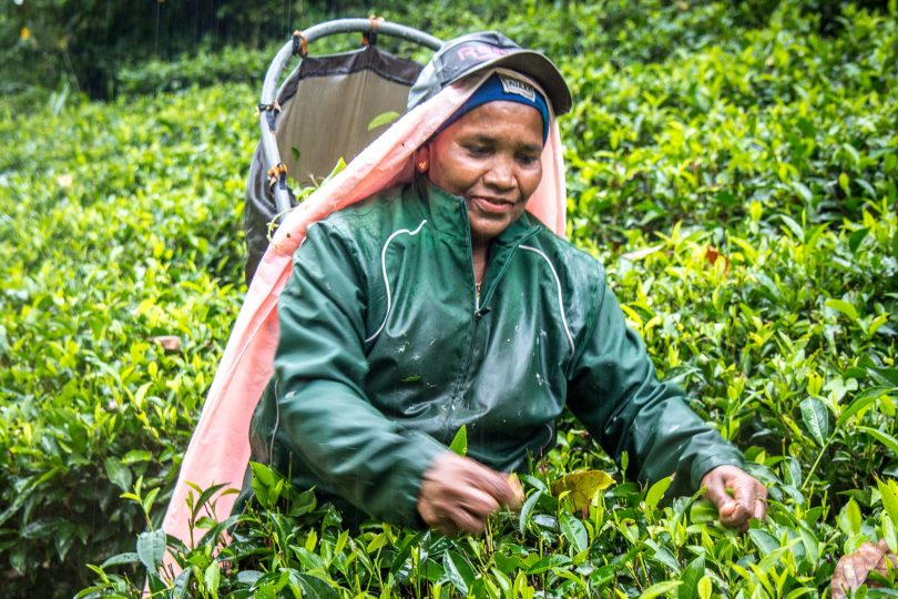 Working the tea fields