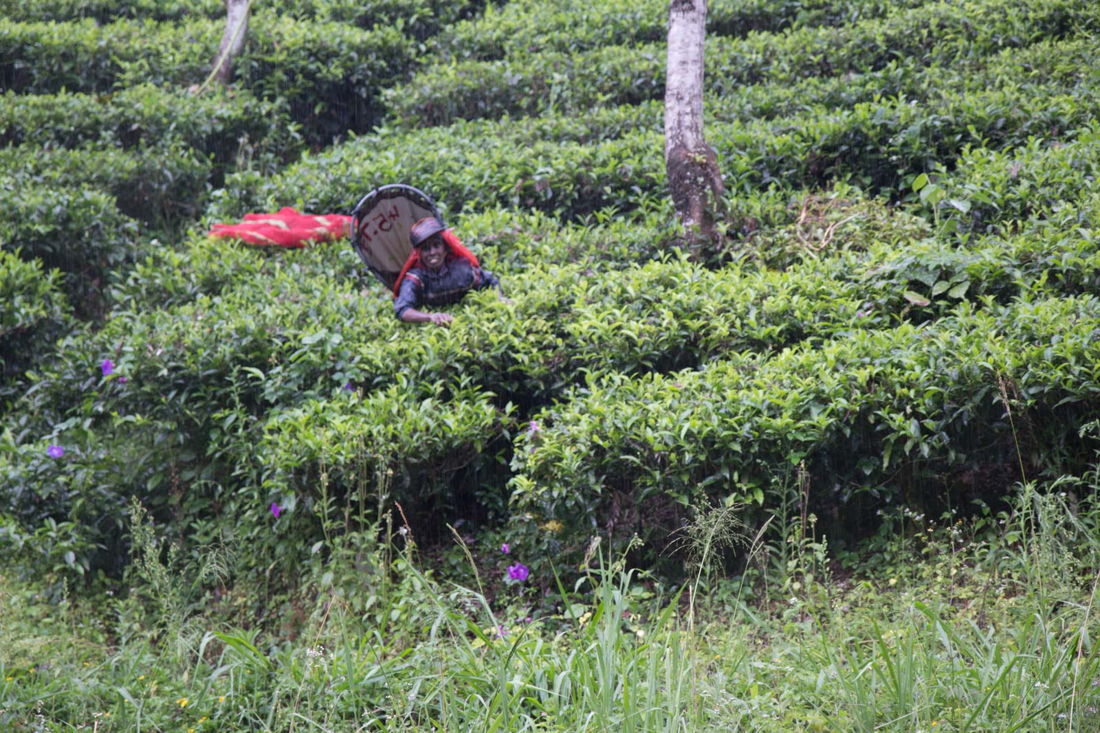 Tea plantations, Holyrood Estate, Sri Lanka