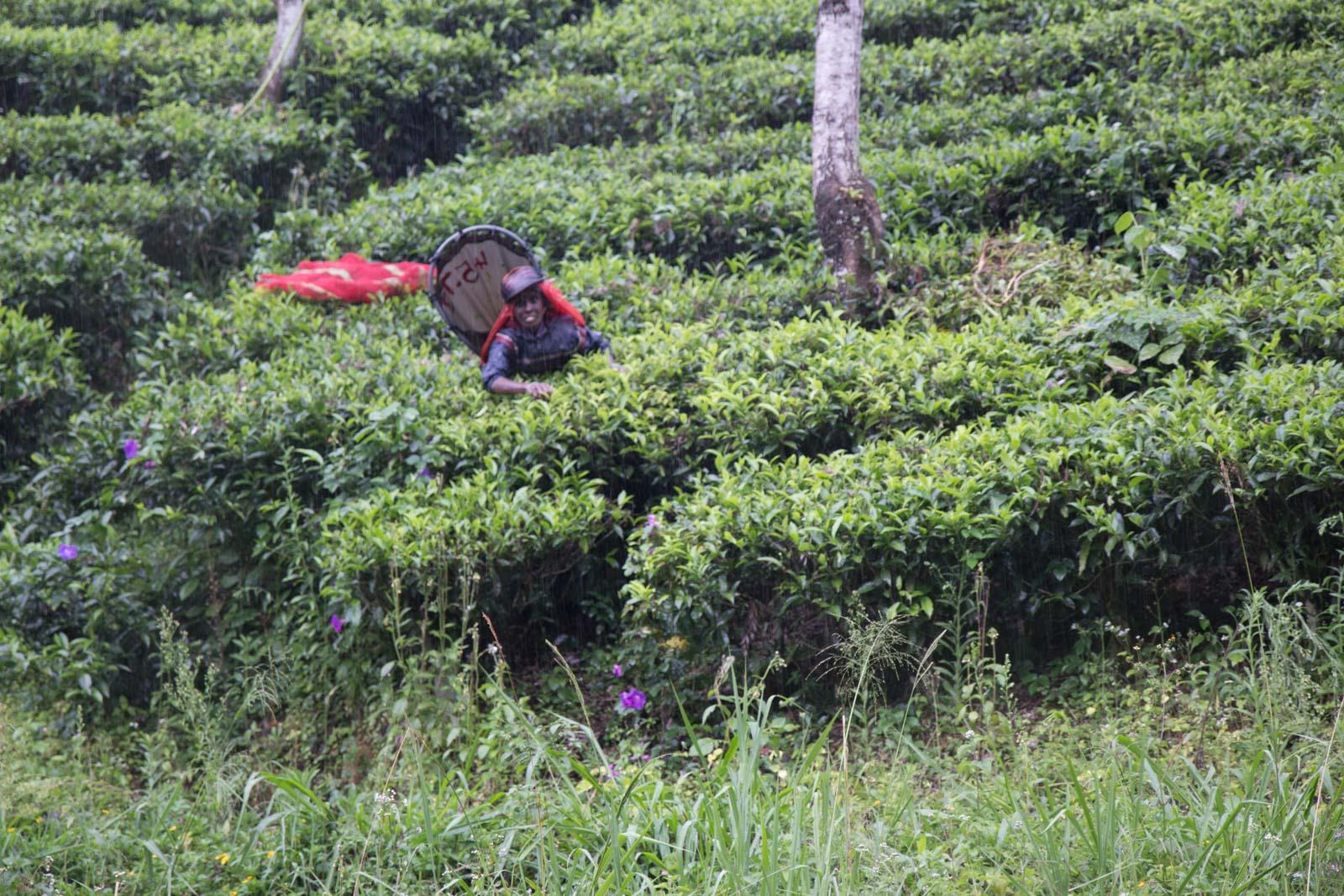 Tea plantations, Holyrood Estate, Sri Lanka