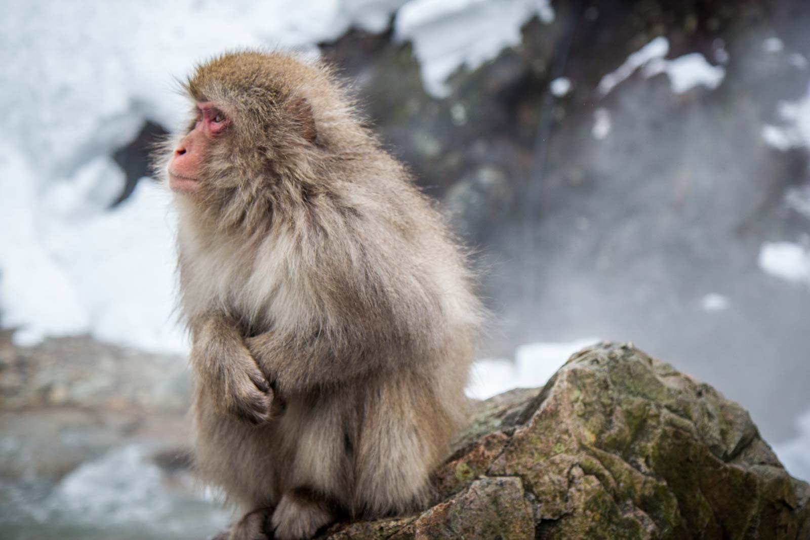 monkey hot spring, japan, Jigokudani Monkey Park