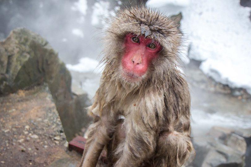Monkeys in a Japanese hot spring