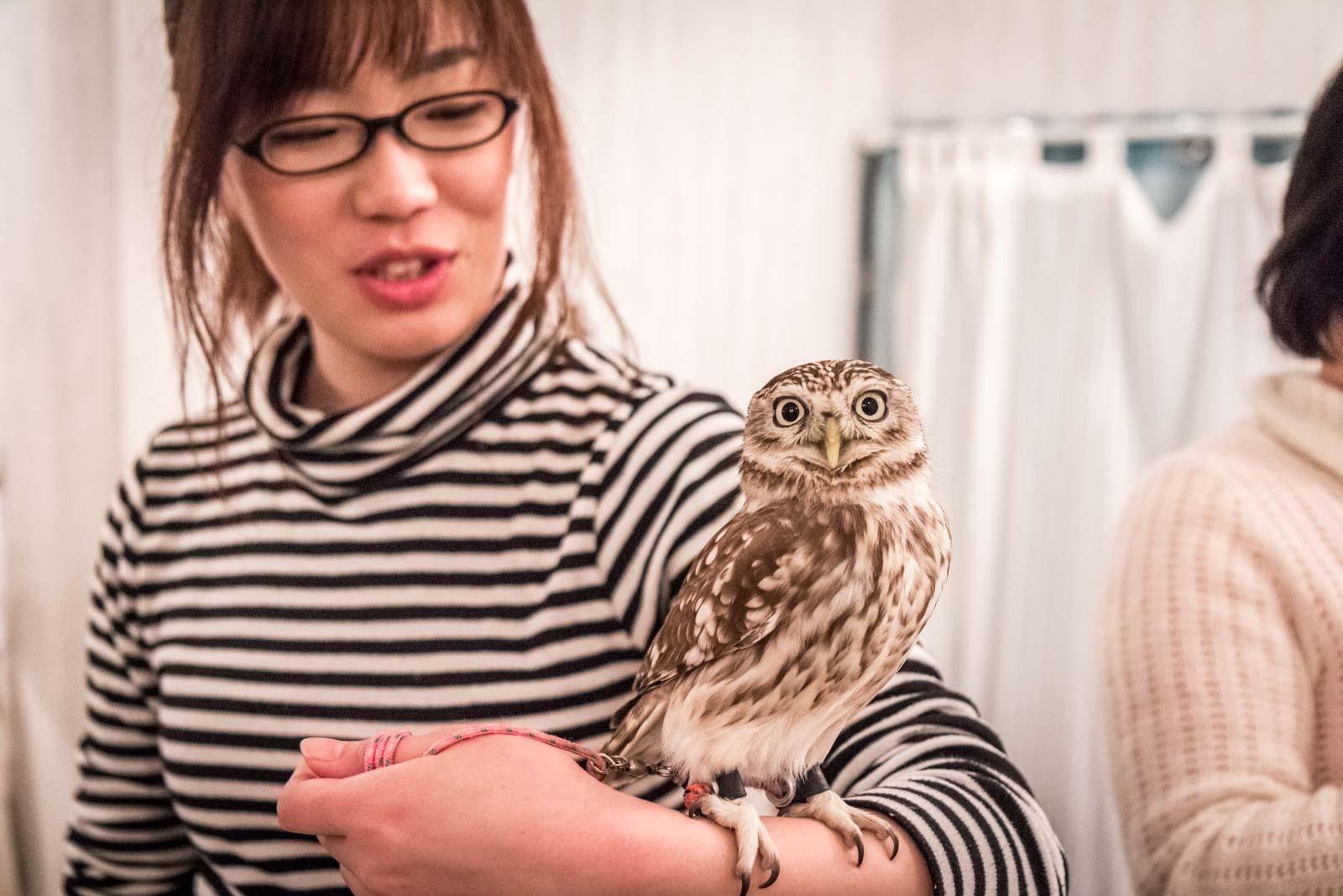 owl cafe in tokyo, akiba fukurou, japan