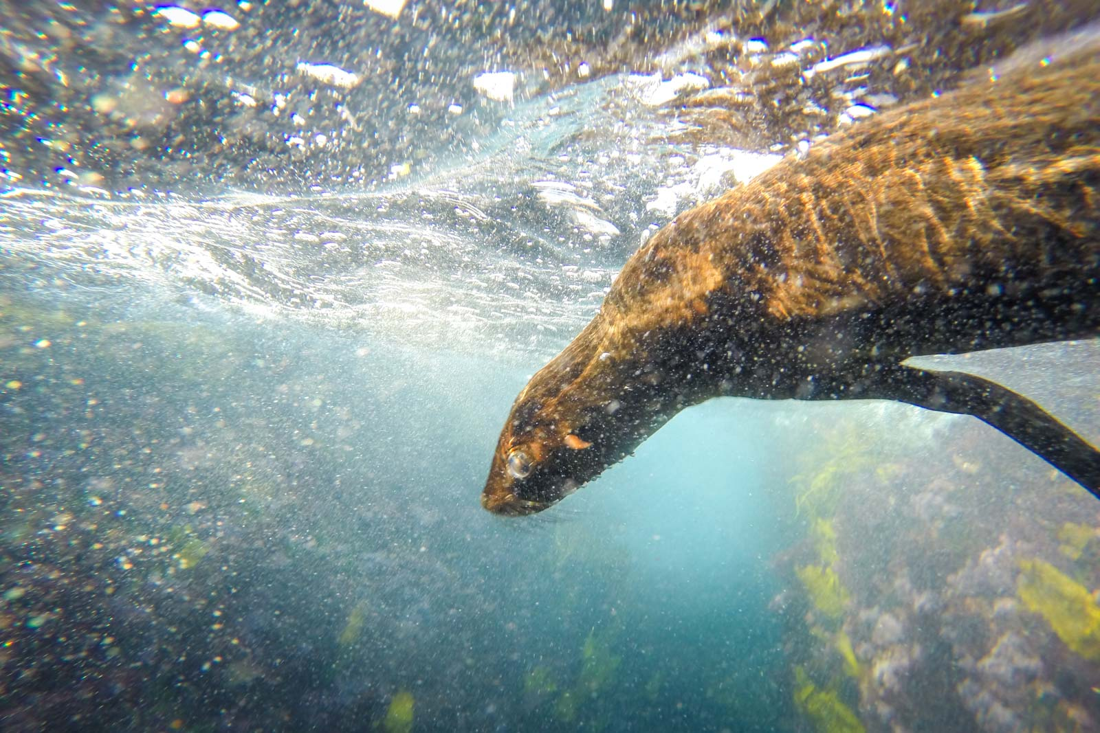 Swimming with seals, Montague Island, Narooma, NSW, Australia