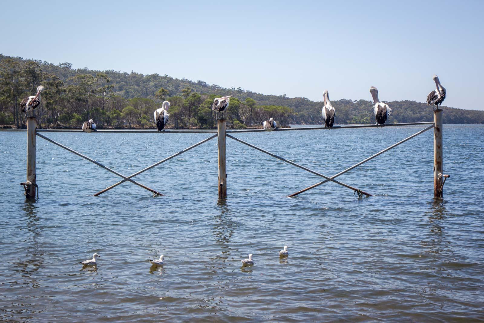 Oyster tour, Merimbula, NSW, Australia