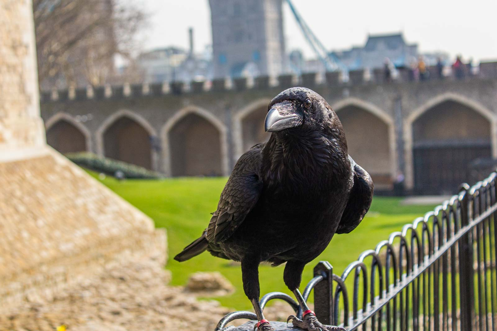 Raven at the Tower of London, England